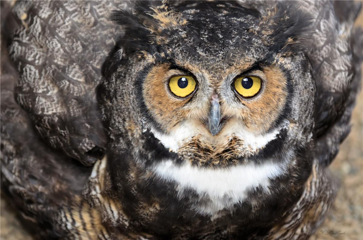 "Memorial Adoption Great Horned owl ""Athena's Angels"""